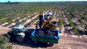 Vendimiadora descargando uva
